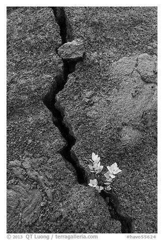 Shrub and crack, Kilauea Iki crater. Hawaii Volcanoes National Park (black and white)