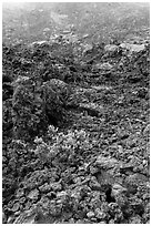 Ohelo shrub and chaotic lava, Kilauea Iki crater. Hawaii Volcanoes National Park, Hawaii, USA. (black and white)