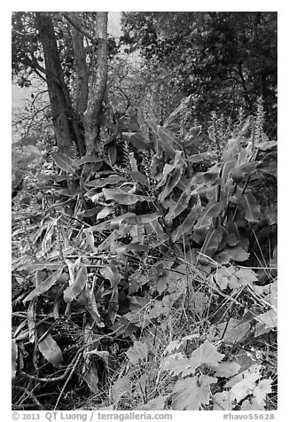 Kahil Ginger plants on rim of Kilauea Iki crater. Hawaii Volcanoes National Park (black and white)