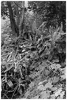 Kahil Ginger plants on rim of Kilauea Iki crater. Hawaii Volcanoes National Park, Hawaii, USA. (black and white)