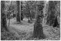 Old-growth forest of koa on kipuka. Hawaii Volcanoes National Park, Hawaii, USA. (black and white)
