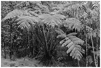 Giant ferns in Kipuka Puaulu old growth forest. Hawaii Volcanoes National Park, Hawaii, USA. (black and white)