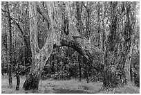 Ohia tree arch, Kīpukapuaulu. Hawaii Volcanoes National Park, Hawaii, USA. (black and white)
