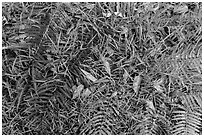 Ground close-up with ferns, grasses, and fallen koa leaves. Hawaii Volcanoes National Park, Hawaii, USA. (black and white)