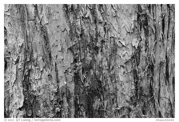 Bark detail, old-growth koa tree, Kīpukapuaulu. Hawaii Volcanoes National Park (black and white)