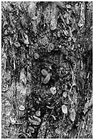 Tree trunk bark and fallen leaves, Kīpukapuaulu. Hawaii Volcanoes National Park, Hawaii, USA. (black and white)