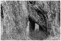 Base of Ohia tree with multiple trunks. Hawaii Volcanoes National Park ( black and white)
