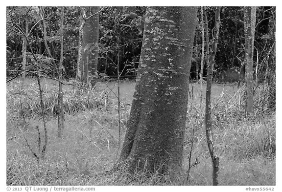 Koa trees with orange algea, Kīpukapuaulu. Hawaii Volcanoes National Park (black and white)