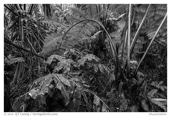 Giant tree ferns glistering with rainwater. Hawaii Volcanoes National Park (black and white)