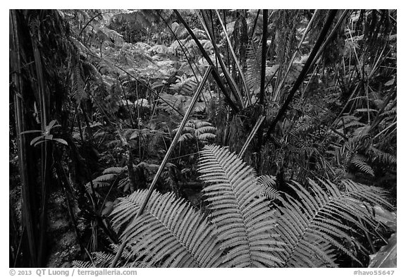 Ferns in lush rainforest. Hawaii Volcanoes National Park (black and white)