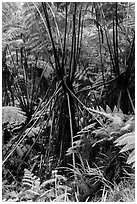 Hawaiian Tree Fern (Cibotium menziesii). Hawaii Volcanoes National Park, Hawaii, USA. (black and white)