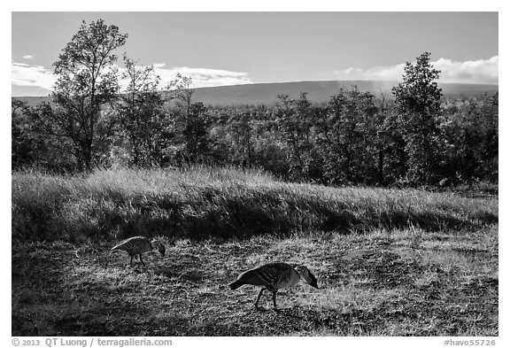 Nenes and Mauna Loa. Hawaii Volcanoes National Park (black and white)