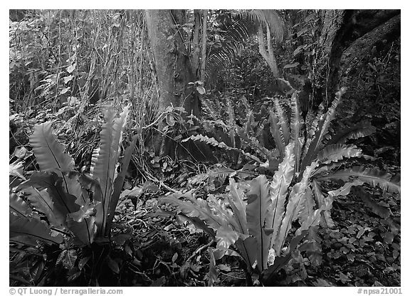 Ferns in coastal paleotropical rainforest near Saua, Tau Island. National Park of American Samoa (black and white)