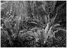 Paleotropical rainforest floor near Saua, Tau Island. National Park of American Samoa (black and white)