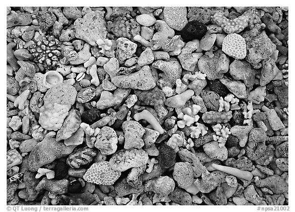 Beached coral, Tau Island. National Park of American Samoa (black and white)