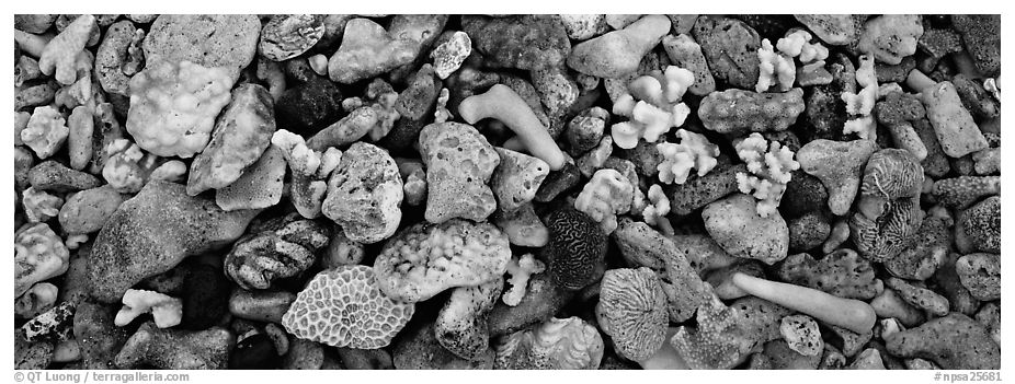Close-up detail of beached coral, Tau Island. National Park of American Samoa (black and white)