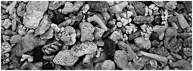 Close-up detail of beached coral, Tau Island. National Park of American Samoa (Panoramic black and white)