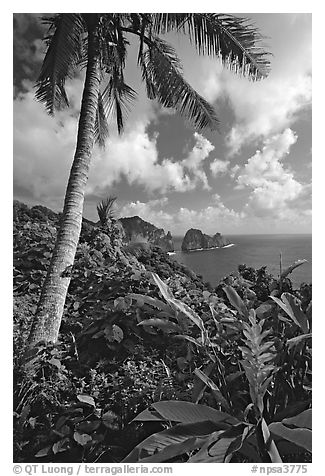 Palm tree and wild ginger along the road from Afono to Vatia, Tutuila Island. National Park of American Samoa (black and white)