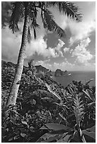 Palm tree and wild ginger along the road from Afono to Vatia, Tutuila Island. National Park of American Samoa ( black and white)