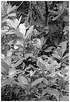 Tropical leaves,  Tutuila Island. National Park of American Samoa ( black and white)
