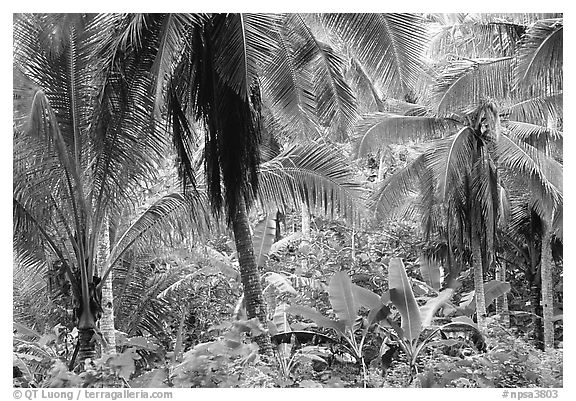 Mix of native and planted tropical plants, Tutuila Island. National Park of American Samoa (black and white)