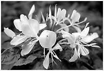 Tropical yellow flower, Tutuila Island. National Park of American Samoa ( black and white)