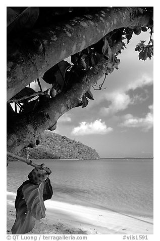 Noni tree (Morinda citrifolia) and beach, Maho Bay. Virgin Islands National Park (black and white)