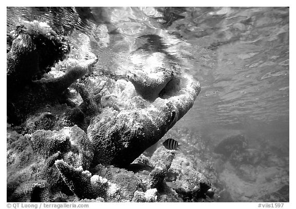 Coral and water surface. Virgin Islands National Park (black and white)