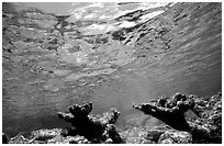 Elkhorn coral. Virgin Islands National Park, US Virgin Islands. (black and white)