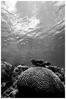 Brain coral. Virgin Islands National Park, US Virgin Islands. (black and white)