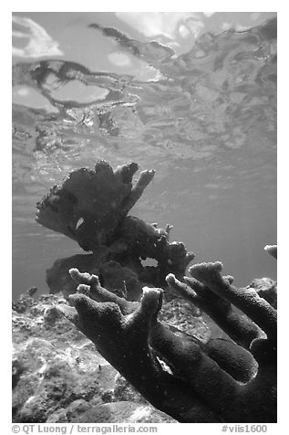 Elkhorn coral underwater. Virgin Islands National Park (black and white)