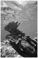 Elkhorn coral underwater. Virgin Islands National Park, US Virgin Islands. (black and white)