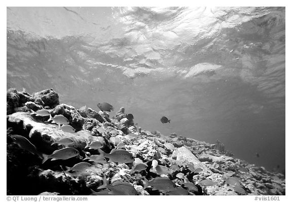 School of yellow fish. Virgin Islands National Park (black and white)