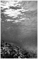 Water surface and fish over reef. Virgin Islands National Park, US Virgin Islands. (black and white)