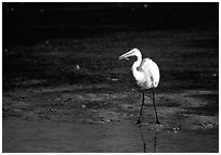 Great white egret. Virgin Islands National Park ( black and white)