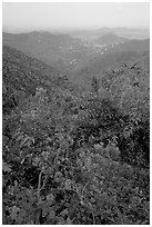 Bougainvillea flowers and view from ridge. Virgin Islands National Park, US Virgin Islands. (black and white)