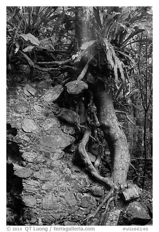 Tree growing on ruined wall, Josie Gut Sugar Estate. Virgin Islands National Park (black and white)