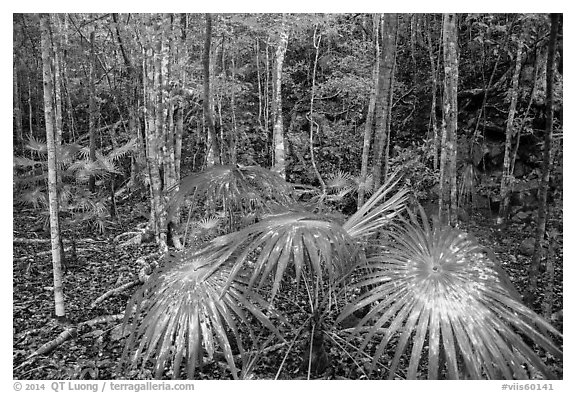 Undergrowth, moist sub-tropical forest. Virgin Islands National Park (black and white)