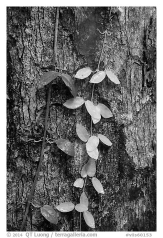 Close-up of leaves and trunk. Virgin Islands National Park (black and white)