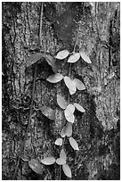 Close-up of leaves and trunk. Virgin Islands National Park ( black and white)