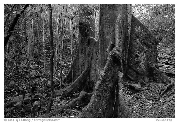 Kapok tree. Virgin Islands National Park (black and white)