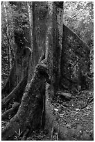 Buttresses of kapok tree. Virgin Islands National Park ( black and white)