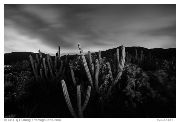 Cactus from Yawzi Point at night. Virgin Islands National Park (black and white)