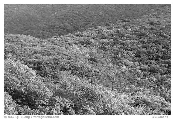 Forested hillside. Virgin Islands National Park (black and white)