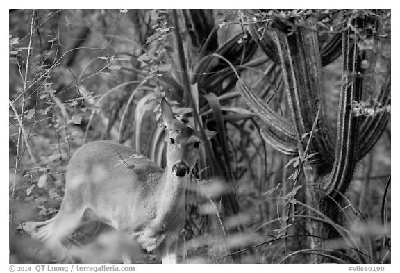 Deer and cactus, Yawzi Point. Virgin Islands National Park (black and white)