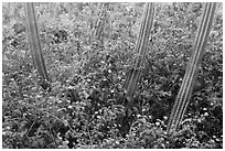 Cactus and flowers, Yawzi Point. Virgin Islands National Park ( black and white)