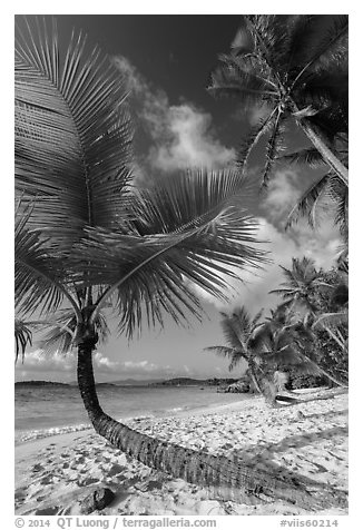 Tropical beach with palm trees, Salomon Bay. Virgin Islands National Park (black and white)
