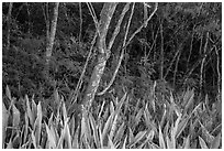 Edge of forest, Salomon Bay. Virgin Islands National Park ( black and white)