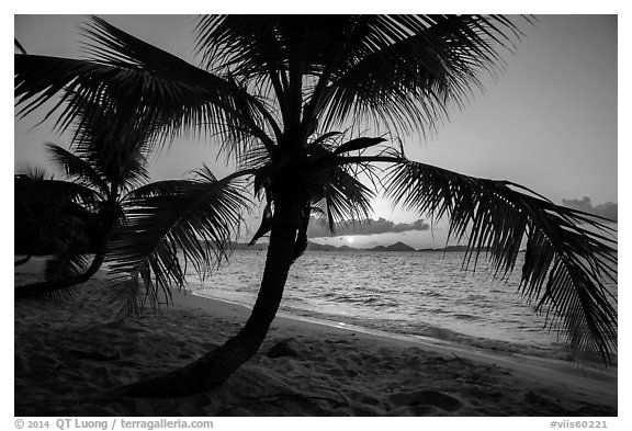 Palm tree and sunset, Salomon Beach. Virgin Islands National Park (black and white)
