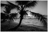 Palm tree and sunset, Salomon Beach. Virgin Islands National Park ( black and white)
